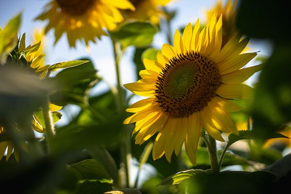 sunflower-bonnie-kittle-794077-unsplash